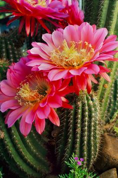 kaktus-pestovani