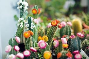 pestovani-kaktusu-rady