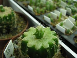 roubovani-kaktusu