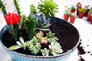 substrat-kaktus
