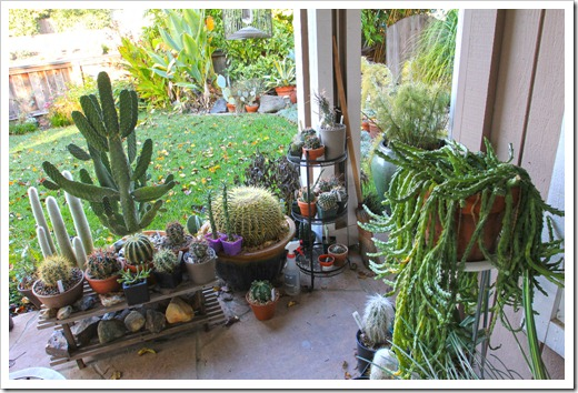 zimovani kaktusu
